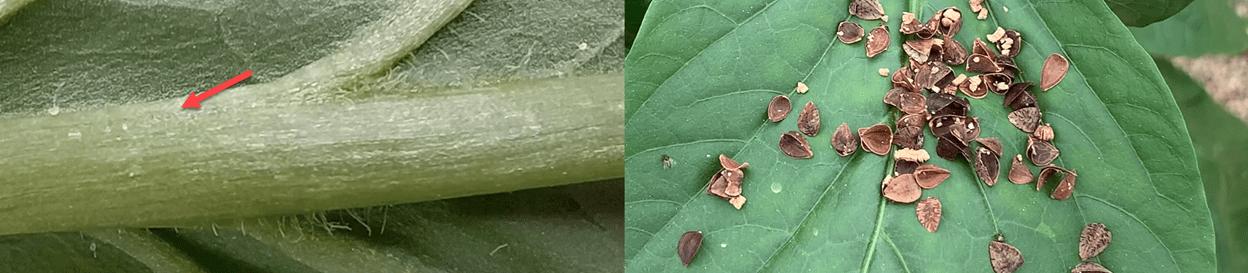 Ambiyselus swisrkii y Orius laevigatus