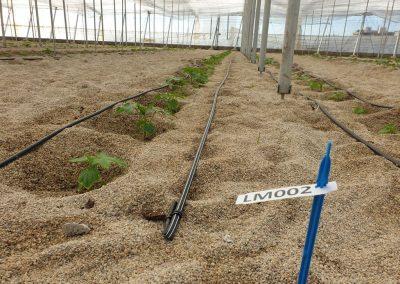 Nave invernadero 1 - Plantación cultivo pepino Almería