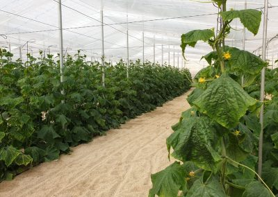 Nave invernadero 1 - Cultivo pepino Almería