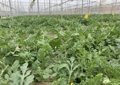 Nave invernadero 1 - Cultivo sandía