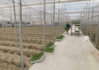 Nave invernadero 1 - Iniciando la plantación del pepino Almería