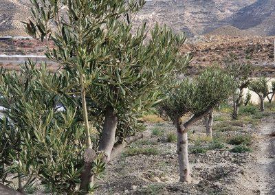 Olivos producción ecológica