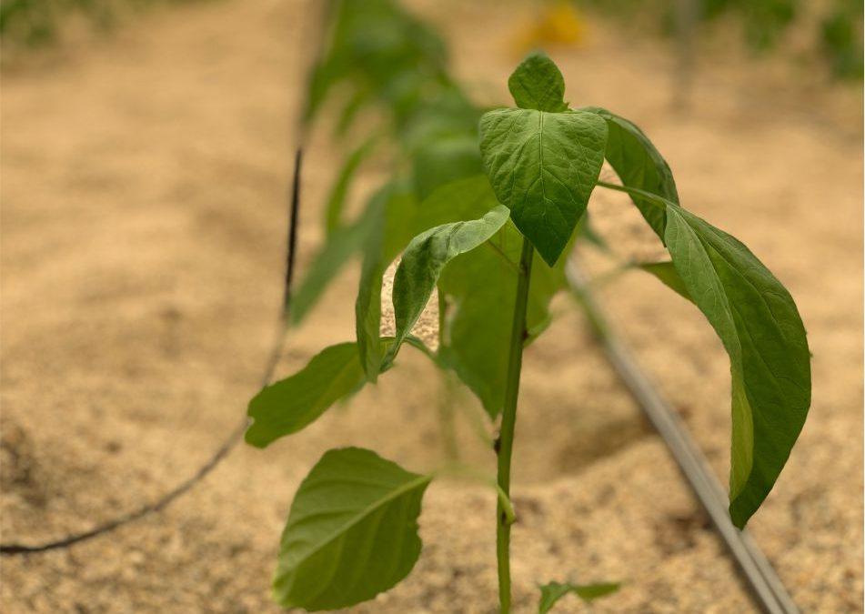Cultivo de Pimientos California ÍTACA
