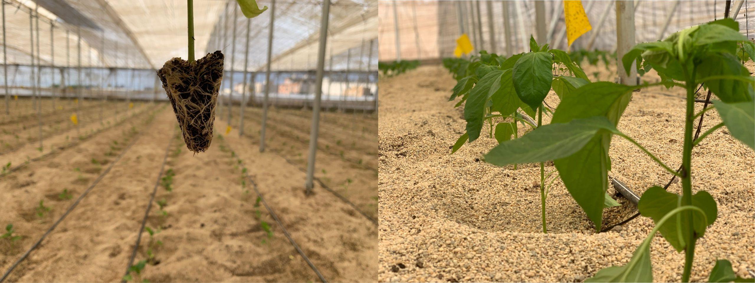 pimiento-plantado-invernadero