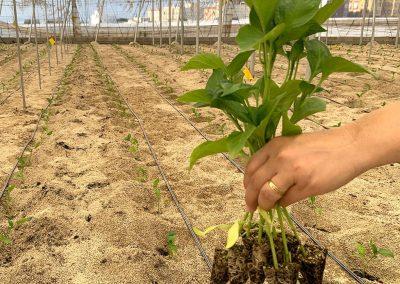 Plantando pimientos invernadero 1