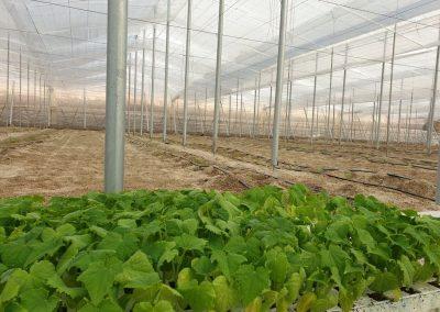 Nave invernadero 1 - Iniciamos la plantación pepino Almería